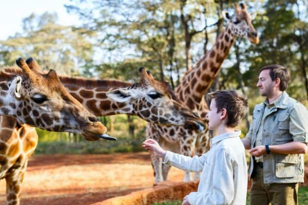man and son feeding giraffes