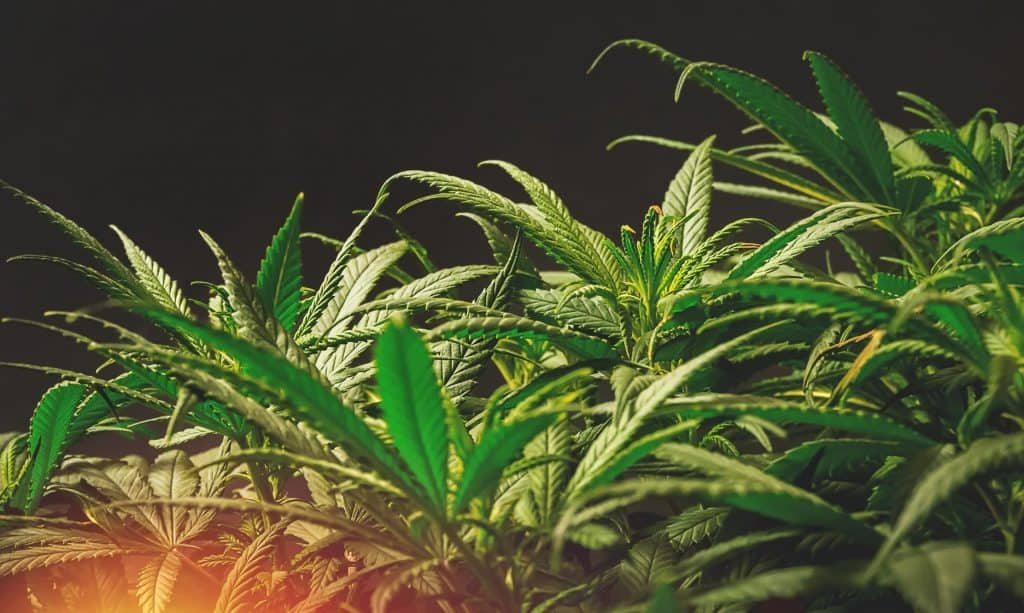 Cannabis with black backdrop