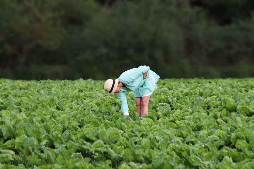 Farmer walks through lettuce farm